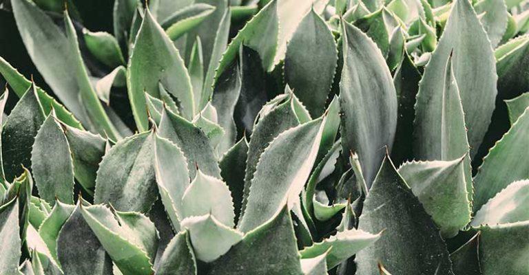 Aloe Vera nauda, kaip naudoti plaukams ir odai bei šalutinis poveikis